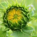 sun-flower-3536155_640