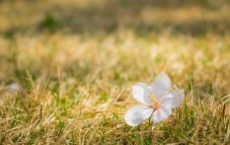 cherry-blossoms-3460426_640