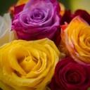 roses-3680319_640