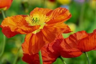 poppy-3352448_640