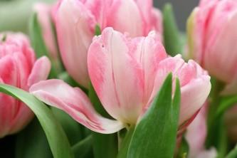 tulips-4035018_640