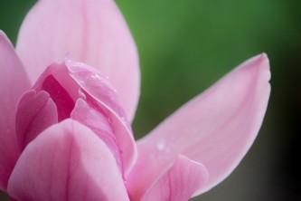 magnolia-2832443_640