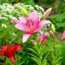 lilies-4399918_640