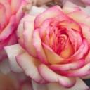 rose-4741169_640