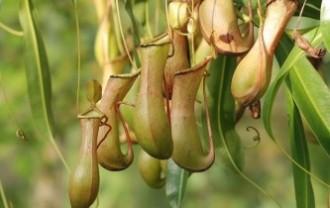 pitcher-plant-362370_640