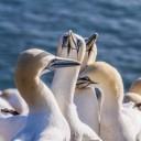northern-gannet-4926108_640