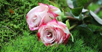 roses-1868669_640