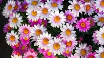 daisies-5116743_640