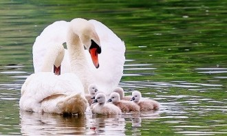 swans-5159767_640