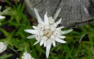 edelweiss-556836_640
