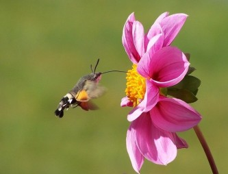 hummingbird-hawk-moth-542500_640