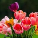 tulips-5361990_640