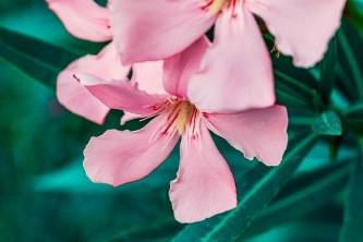 oleander-4338149_640