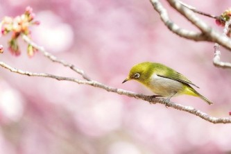 japanese-white-eye-6178082_640