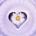 daisy-6304767_640