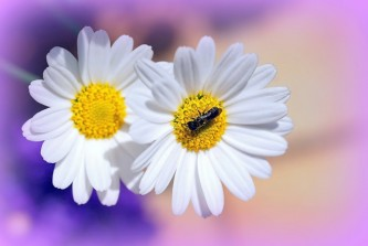 daisies-558501_640