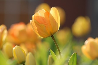 tulip-690320_640