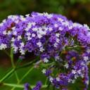 winged-beach-lilac-375599_640