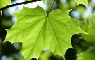 maple-leaf-888807_640