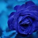 rose-165819_640
