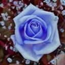 rose-843393_640