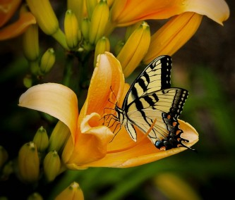 butterfly-144053_640