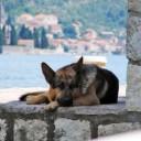 german-shepherd-261230_640