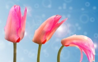 tulip-1320559_640