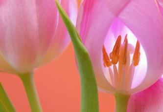 tulip-566875_640