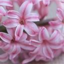 hyacinth-1402853_640