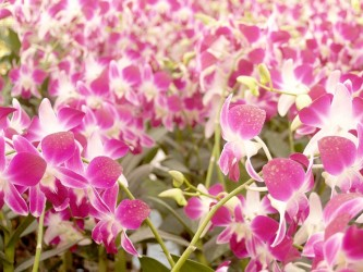 orchid-1553830_640