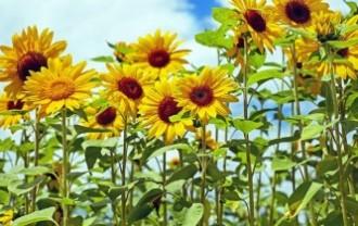 sunflower-1495136_640