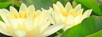 water-lilies-1540325_640