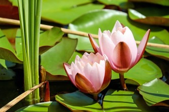 water-lily-1520315_640