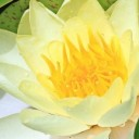 water-lily-1540390_640