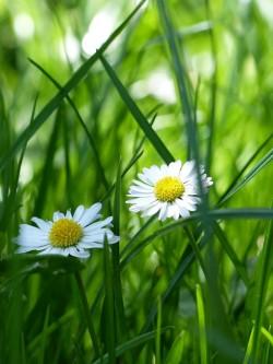 daisy-747405_640