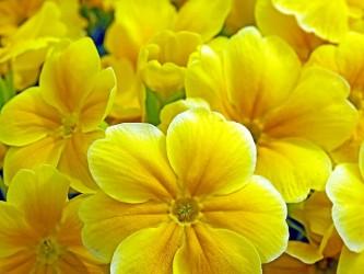 primroses-1364136_640