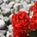 red-205385_640