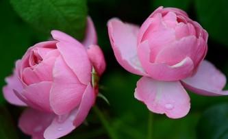 rose-288090_640