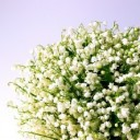 lily-of-the-valley-1693516_640