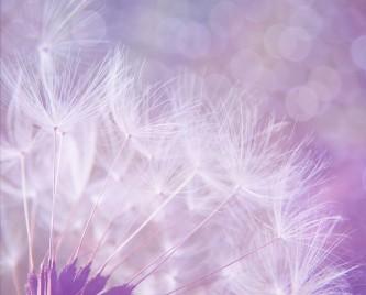 dandelion-923221_640