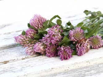 red-clover-1589711_640