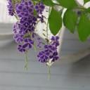 duranta-plant-169200_640