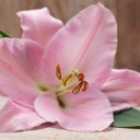 lily-2007837_640