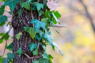 ivy-1812448_640