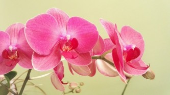 butterfly-orchid-2185769_640