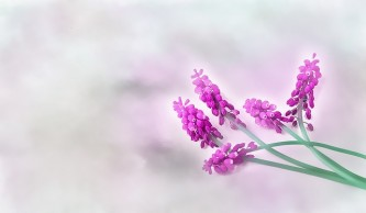 grape-hyacinth-1360552_640