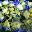 hydrangea-696587_640