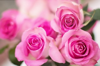 pink-roses-2191631_640
