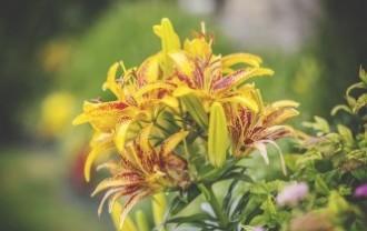 lilies-1149102_640